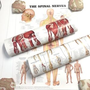 Spinal Nerves Muscular Skeletal Anatomical Chart 3 Posters Wolters Kluwer 20 x26