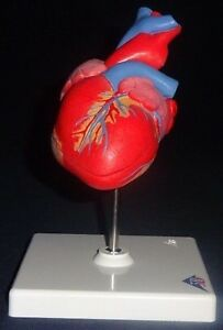 3b Scientific Classic Heart 2 Part G08 Anatomical Model Anatomy