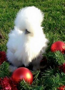 12 Silkie frizzle Satin showgirl Silkie Hatch Eggs Npip 72 Hour Heat Pack Avail