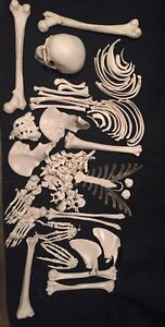 3b Scientific Disarticulated Full Human Skeleton With 3 Part Skull Model A05 1