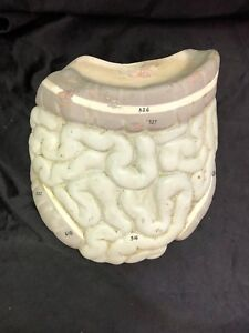Vintage Large And Small Intestine Model Colon Anatomical Model