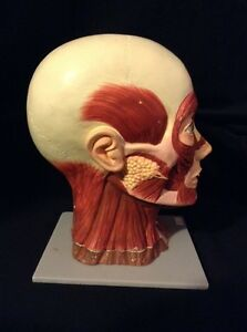 Esp Human Head With Muscle Attachment Brain Anatomical Model 3 Part
