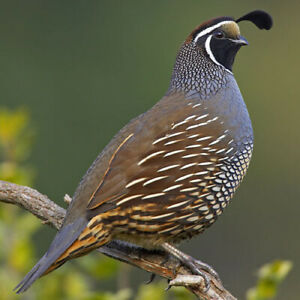 Pre Sale California Valley Quail Eggs This Is A Presale Hatching Egg10 Eggs