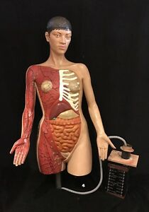 Vintage Female Anatomy Torso Large Life Size With Controls