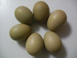 6 Olive Egger Hatching Eggs Fertile Chicken Eggs Hens Lay Olive Colored Eggs