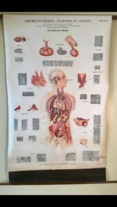 Vintage American Frohse Anatomical Chart Pull Down Max Brodel Rare 19139