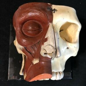 Antique Paper Mache Giant Head Facial Muscles Nasal Cavity Anatomical Model