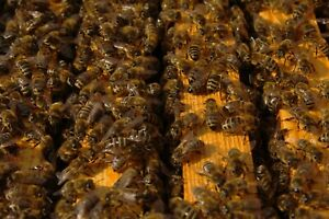 Pre order Nuc With Live Honey Bees Italian Queen 150 Pickup Only Deposit 50
