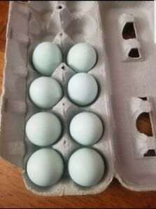 Blue Fertile Hatching Eggs 18 Count