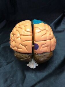Vintage Regional Brain Anatomical Model Anatomy