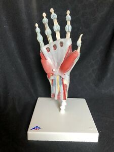 3b Scientific M33 1 Hand Skeleton Model With Ligaments Muscles Anatomical