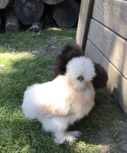 12serama silkie showgirl Surprise hatching Eggs see Description pre sale