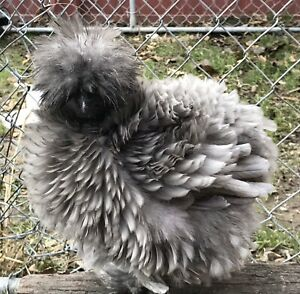 12rare serama silkie showgirl Surprise hatching Eggs see Description pre sale