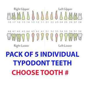 Ivorine Teeth 5 Pack Fits Typodont 200 And Also Fits Kilgore Nissin 200
