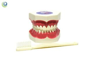 New Dental Care Hygiene Teaching Study Demo For Tooth Brushing Model Xl Size
