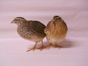 100 Extras Jumbo Brown Coturnix Quail Hatching Eggs Plus Extras