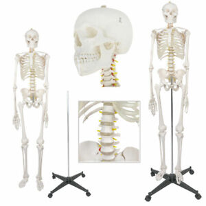 New Life Size Human Anatomical Anatomy Skeleton Medical Model Stand 70 8 6ft