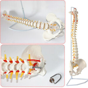Medical Anatomical Human Spine Model Flexible Life Size 29inch With Holder