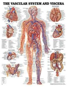 Wolters Kluwer Health Anatomy Charts Vascular System Chart 20 W X 26 H