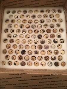 Quail Hatching Eggs 90 Jumbo Texas A m And 90 Jumbo Brown Courtonix Quail Eggs