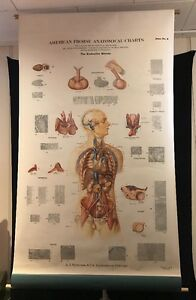 Antique Giant Frohse Endocrine System Organs Anatomical Chart Detailed Anatomy