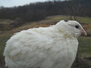 60 Kingswhite Jumbo White Coturnix Quail Hatching Eggs