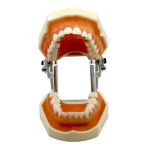 Dental Universal Plate Type Removable Teeth Study Soft Gums Tooth Model 28 Screw