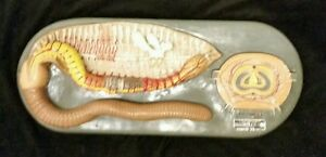 Vintage Antique Welch Earthworm Animal Biology Anatomical Model