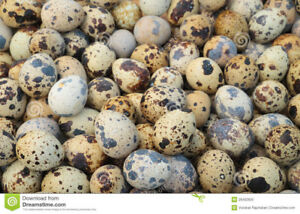 110 Fresh Jumbo Brown Quail Hatching Eggs