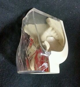 Vintage Human Hip Transparent Section Anatomical Model 4 Part