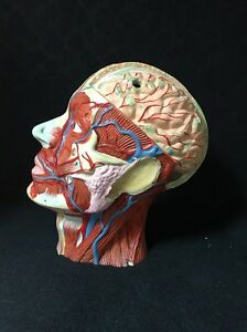 Antique Vintage Head And Brain Section Anatomical Model