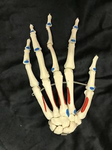 3b Scientific Left Hand Skeleton Anatomical Model Anatomy W Muscle Attachments