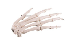 3b Scientific A40r Right Hand Skeleton Wire Mounted Anatomical Model Anatomy