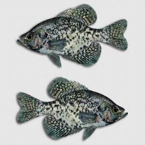 Crappie Fish Sticker Jig Pond Lake Truck Window Boat Tackle Box Fishing Decal