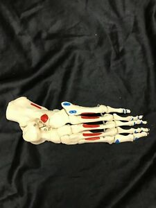 3b Scientific Left Foot Skeleton Anatomical Model Anatomy