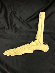 Saw Bones Foot And Ankle Skeleton Anatomical Model Anatomy