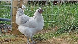 12 Rare Lavender Orphington Chicken Hatching Eggs free Shipping