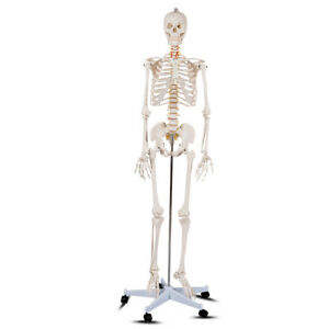 70 Life size Skeleton Model Medical School Human Anatomy Class W rolling Stand