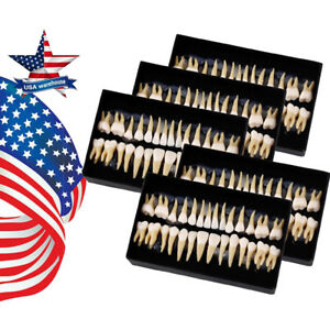 Us 5x Dental 1 1 Permanent Teeth Model Demonstration Teach Study 7008 28pcs set