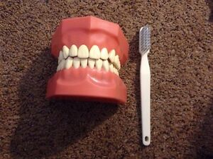 Large Nissin Dental Denture Study Teaching Tooth Model Brush