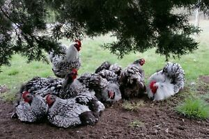 12 Silver Laced English Orpington Chicken Hatching Eggs