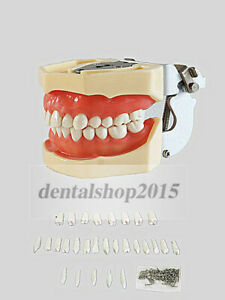 1pc Dental Standard Model Adult Soft Gum Articulated With 28pc Replacement Teeth