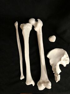Right Os Coxae Femur Tibia Fibula Patella Leg Bone Set Life Size Skeleton Model
