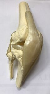 Vintage Life Size Functional Knee Joint Anatomical Model Bones Ligaments