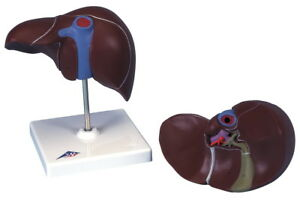 3b Scientific K25 Liver With Gall Bladder Anatomical Model