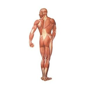 3b Scientific V2005m The Human Musculature Chart Rear 84x200 Anatomical Model