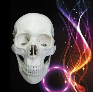 Life Size Anatomical Deluxe Human Skull Model Medical Skeleton Anatomy Pvc Aa