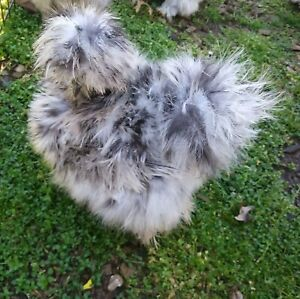 12 Sizzle silkie Chicken Eggs For Incubation hatching
