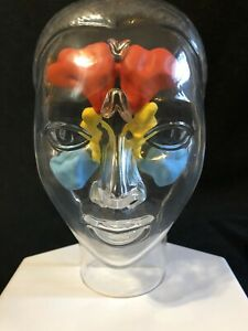 Transparent Head Sinus Anatomical Model Demonstrating Location Of Sinuses