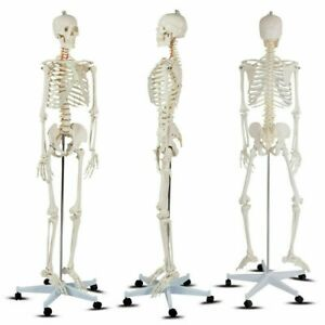 Life size Human Skeleton Model Medical School anatomy Class W Stand 70 8 Tall